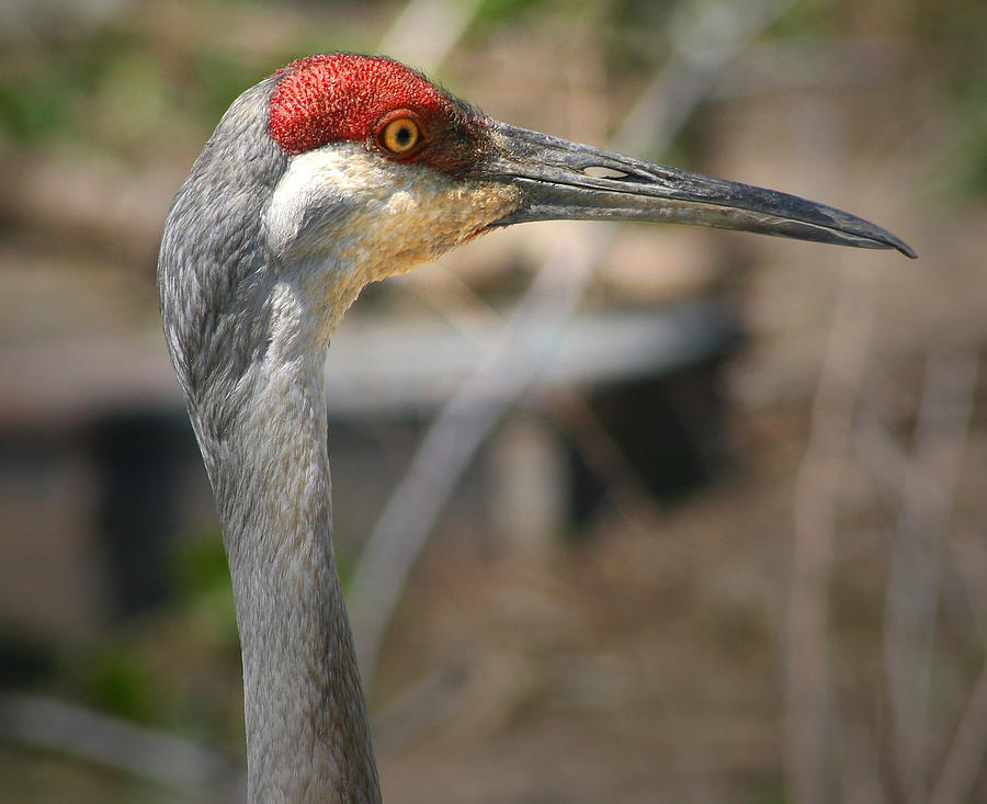 Sandhill Crane Photograph - Sandhill Crane Closeup by Brian M Lumley