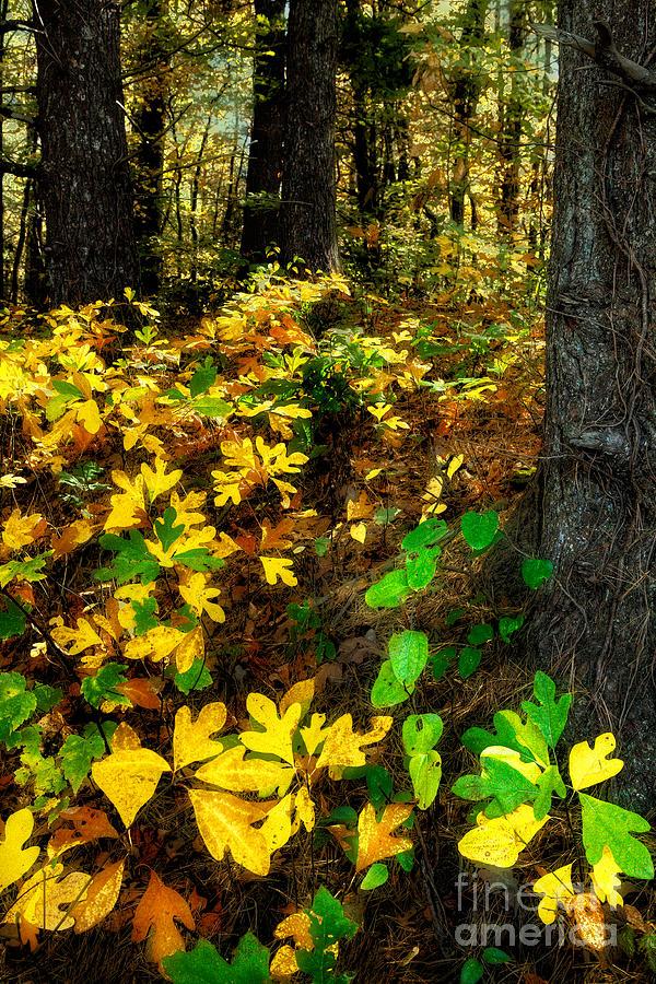 Sassafras Forest II Photograph