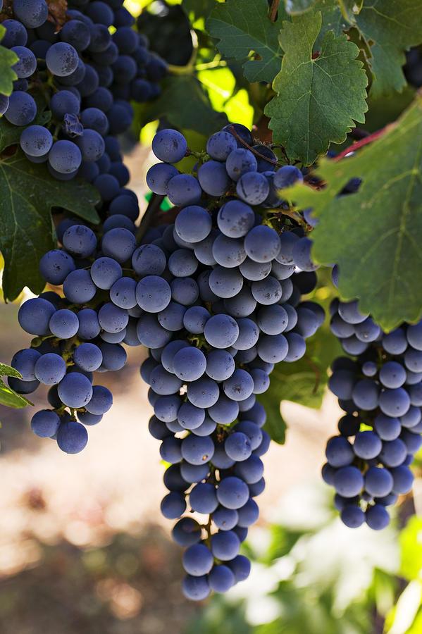 Sauvignon Grapes Photograph