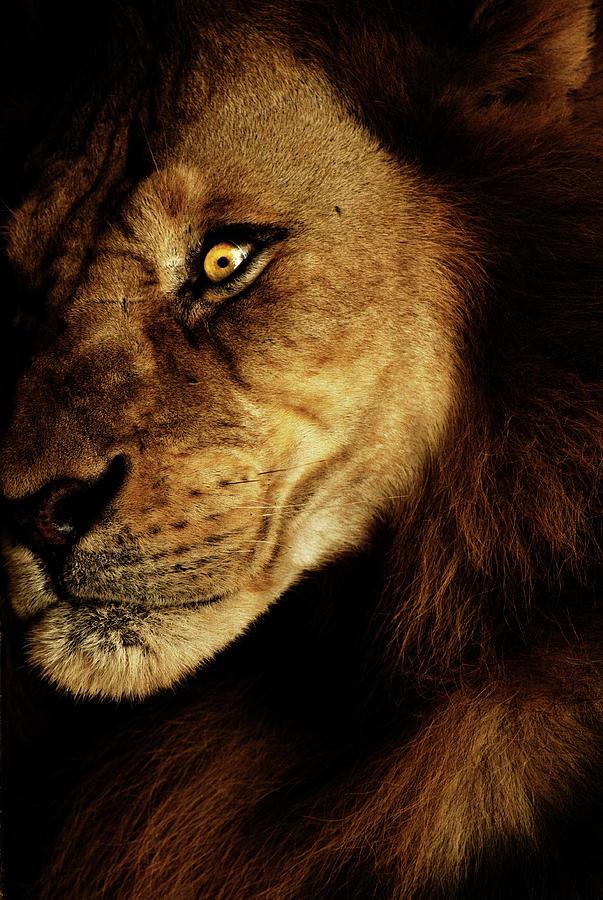Lion Photograph - Savage by Andrew Paranavitana