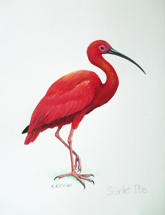 Scarlet Ibis Painting By Christopher Cox