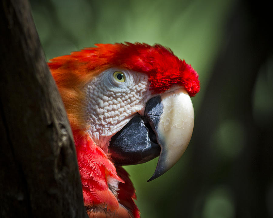 Macaw Photograph - Scarlet Macaw by Roger Wedegis
