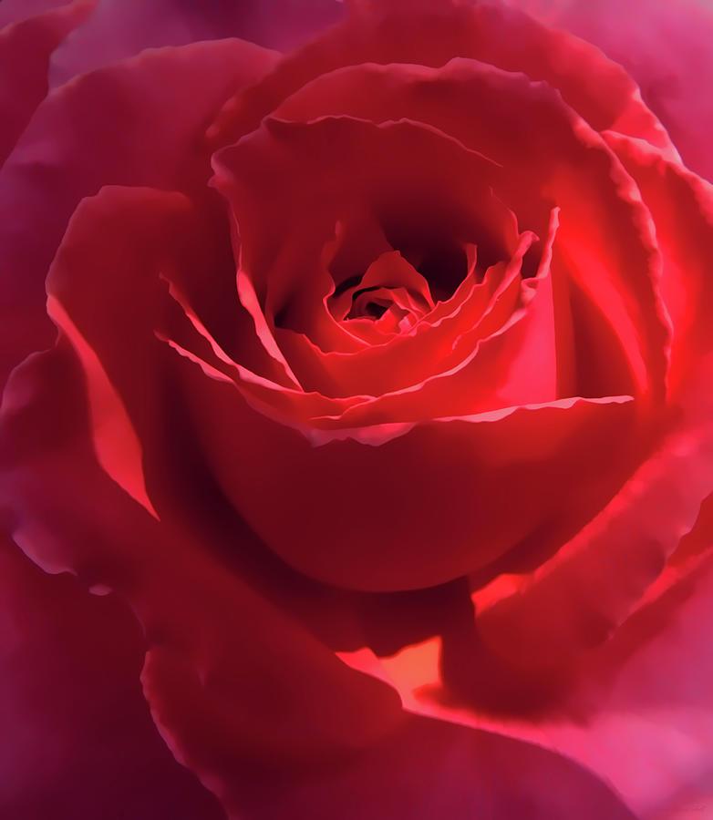 Scarlet Rose Flower Photograph