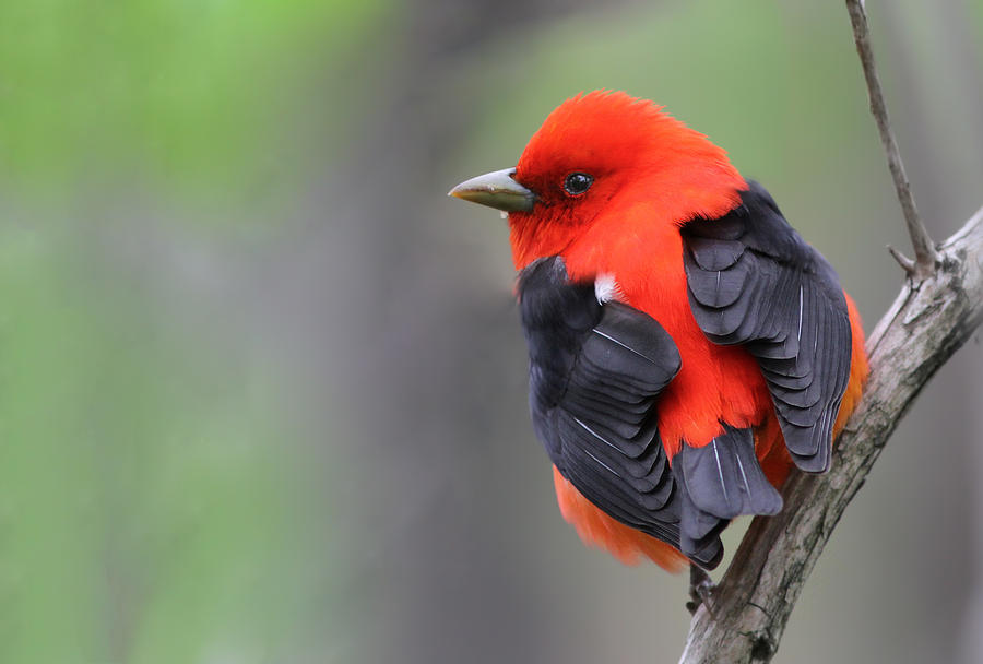 Animal Photograph - Scarlet Tanager by Mircea Costina Photography
