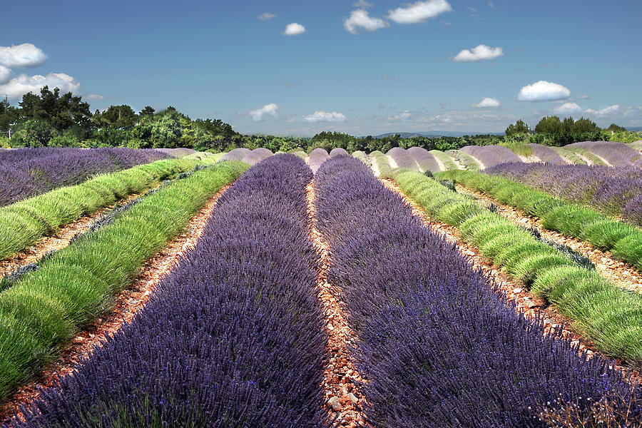 Horizontal Photograph - Scent Of Lavender Of Provence by Any.colour.you.like Photography