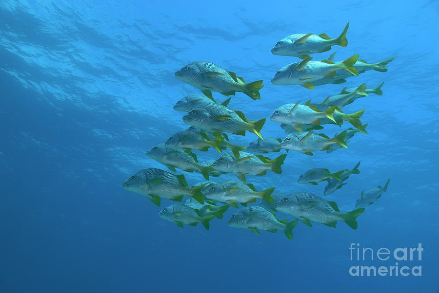 Conformity Photograph - School Of Yellowtail Grunt Underwater by Sami Sarkis