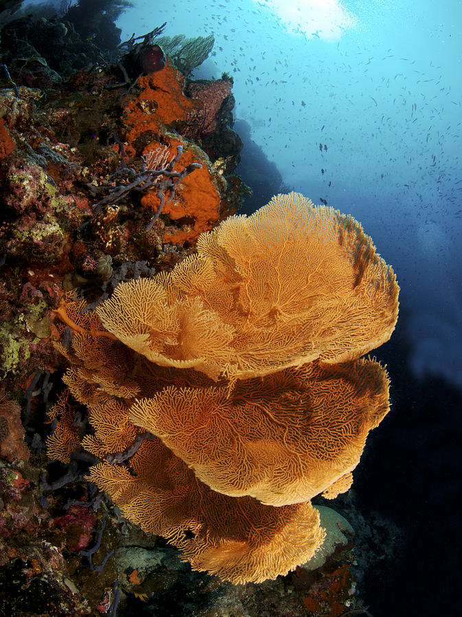 Aqua Photograph - Sea Fan Coral - Indonesia by Steve Rosenberg - Printscapes