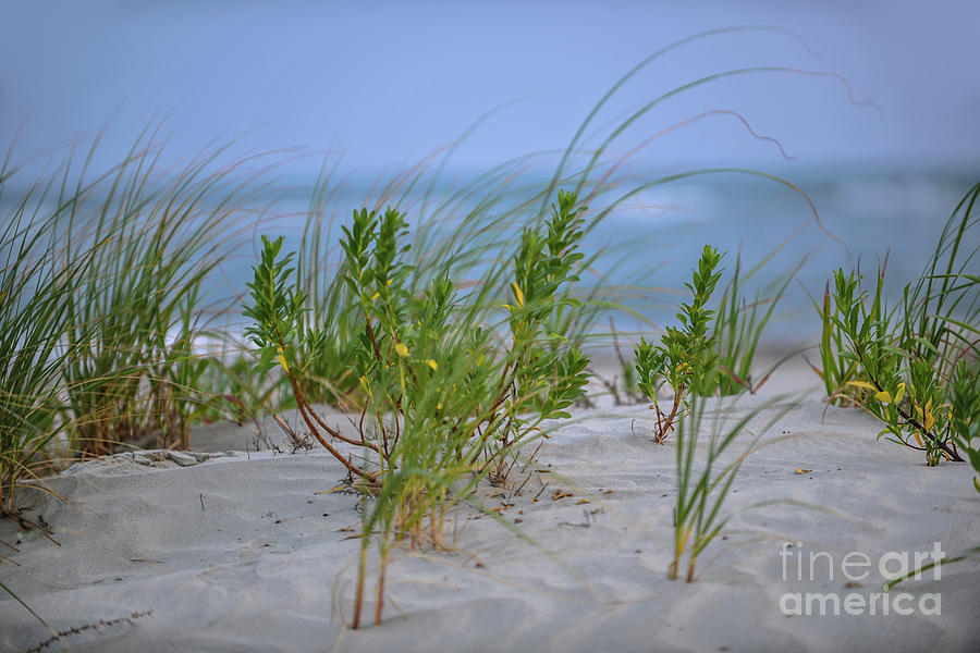 Sea Grass Blowing In The Wind Photograph