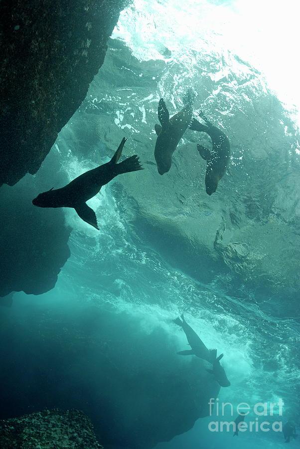Freedom Photograph - Sea Lions by Sami Sarkis