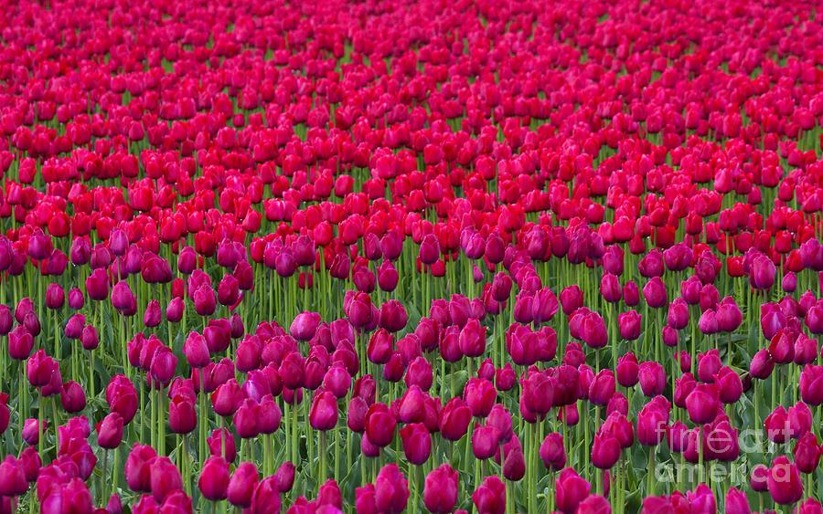 Sea Of Tulips Photograph