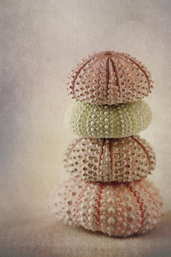 Shell Photograph - Sea Urchins by Carol Leigh