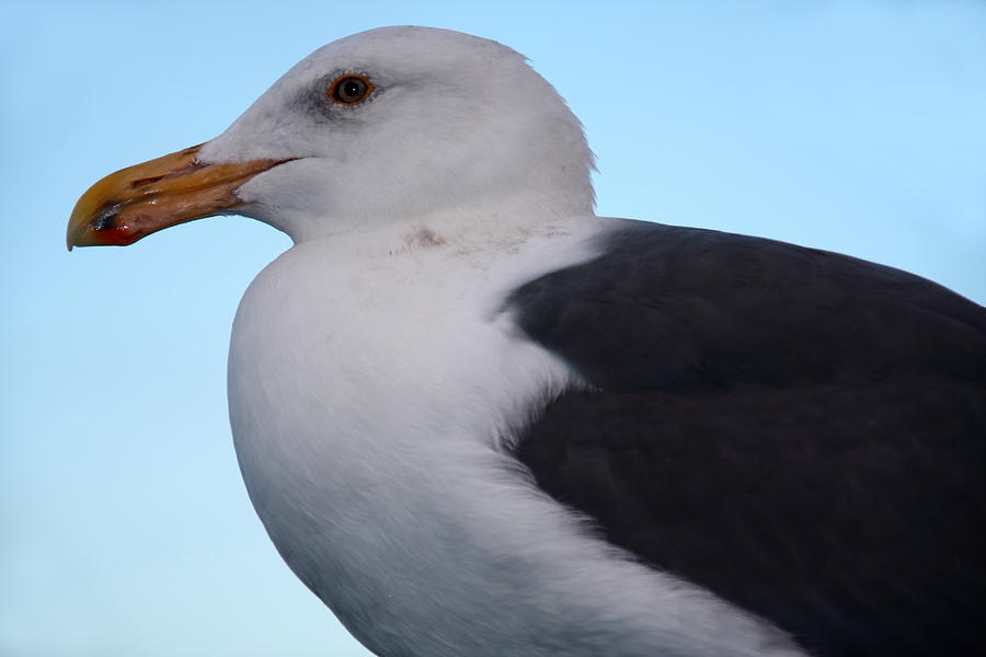 Birds Photograph - Seagull by Aidan Moran