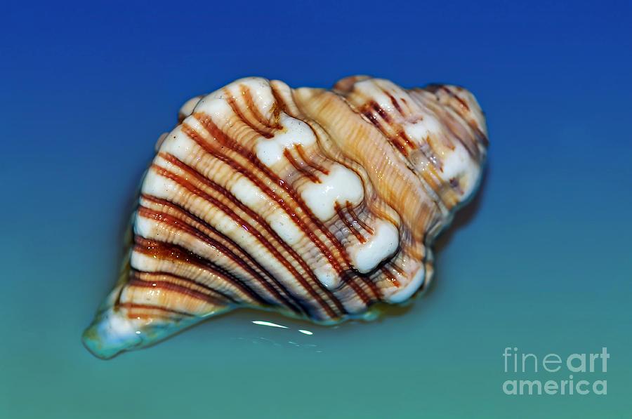 Photography Photograph - Seashell Wall Art 1 by Kaye Menner