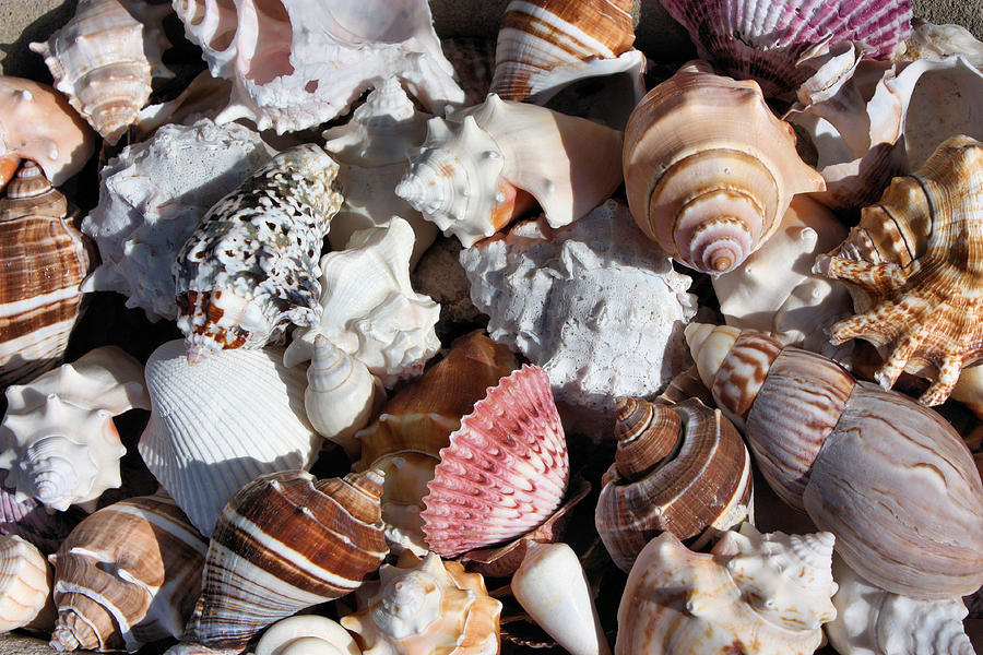 Seashells Photograph - Seashells by Kristin Elmquist