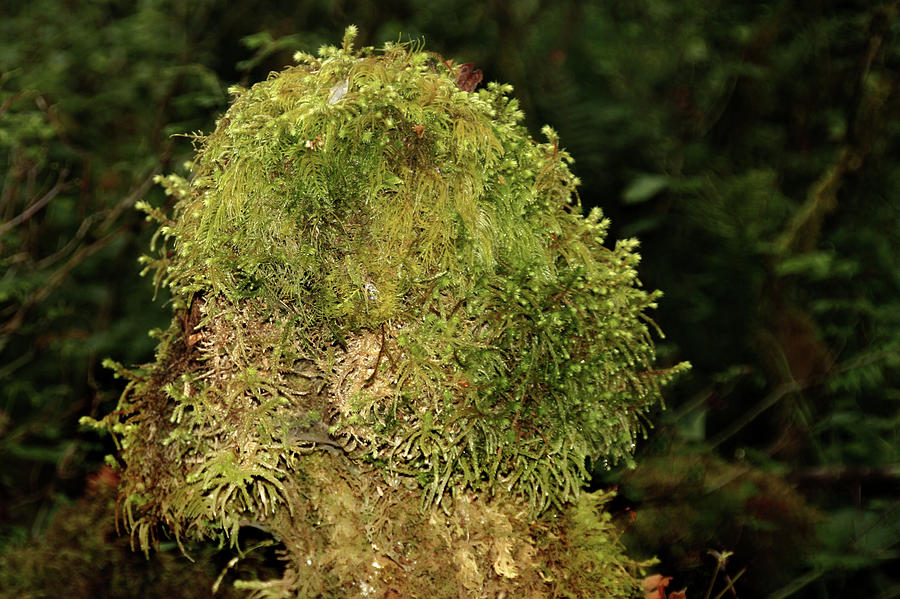 Tree Trunk Photograph - Seasons Of Magic - Hoh Rainforest Olympic National Park Wa by Christine Till