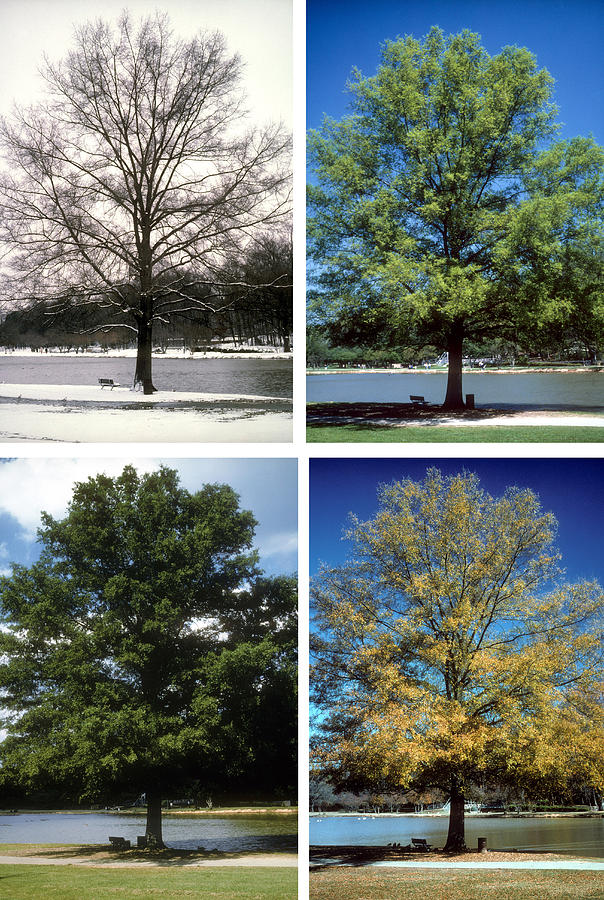 Tree; Green; Summer; Spring; Fall; Winter; Snow; Scenic; Lake; Freedom Park; Charlotte; Nc; Seasons; 4 Seasons; Four Seasons; Nature; Ecology; Global Warming; Time; Passage Of Time; Charlotte; Nc; North Carolina Photograph - Seasons Of Time by Gerard Fritz
