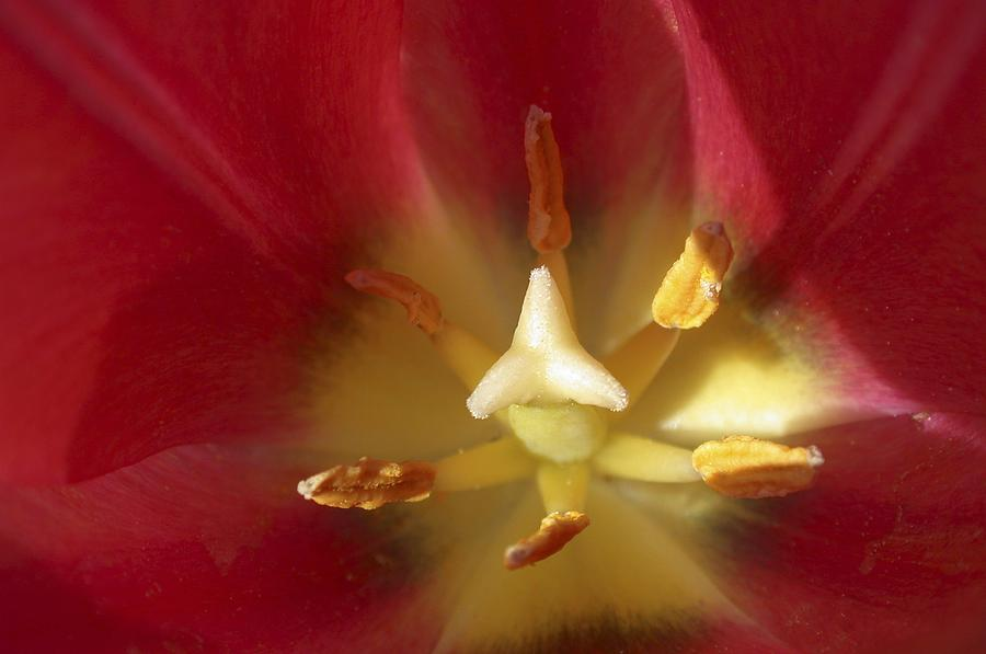 Abstract Photograph - Sego Lily Stamen by Charles Haire