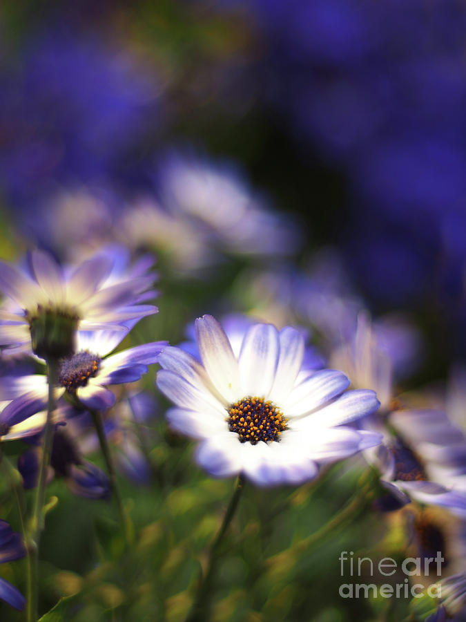 Flowers Photograph - Senetti Dreams by Dorothy Lee