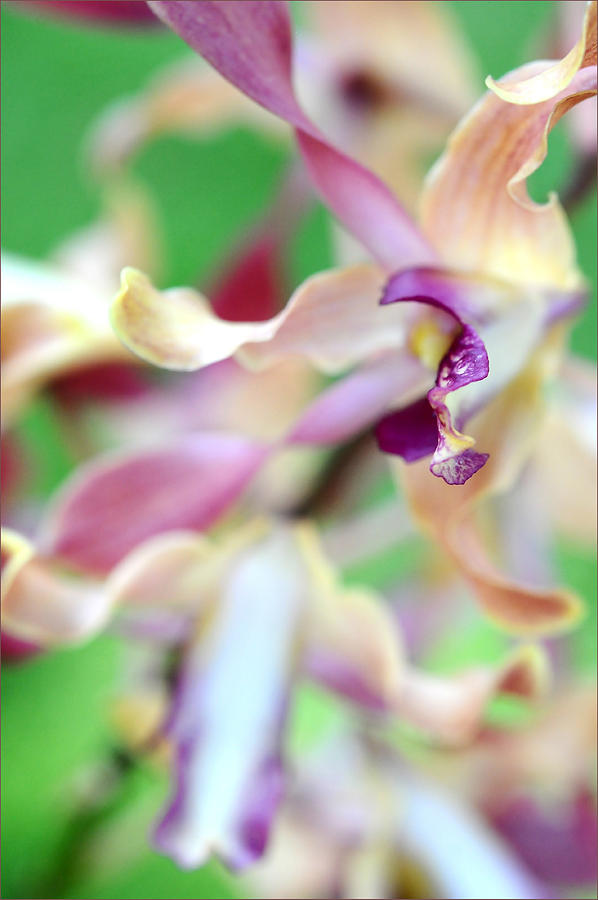 Flower Photograph - Sensual Touch Of Exotic II. Orchid II by Jenny Rainbow
