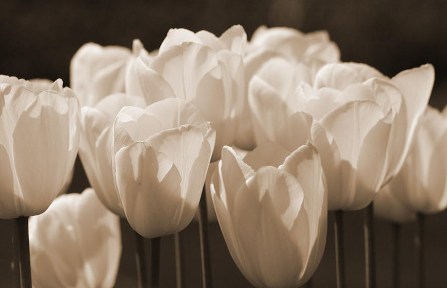 Tulip Photograph - Sepia Tulips by Karla DeCamp