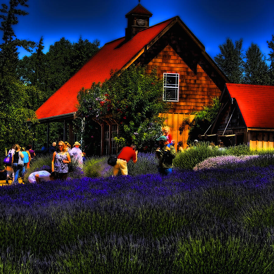 Lavender Photograph - Sequim Lavender by David Patterson
