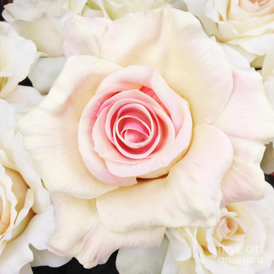 Shabby Chic Romantic White Pink Rose - Pastel Shabby Chic ...