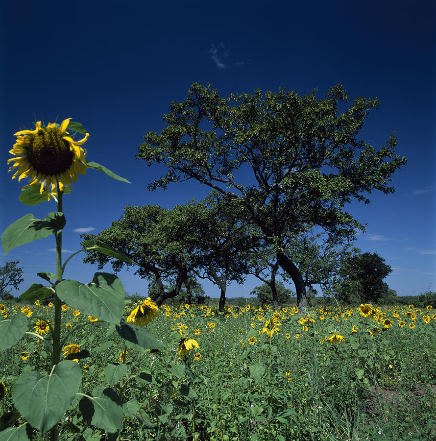 Shea Trees Intercropped With Sunflowers Photograph