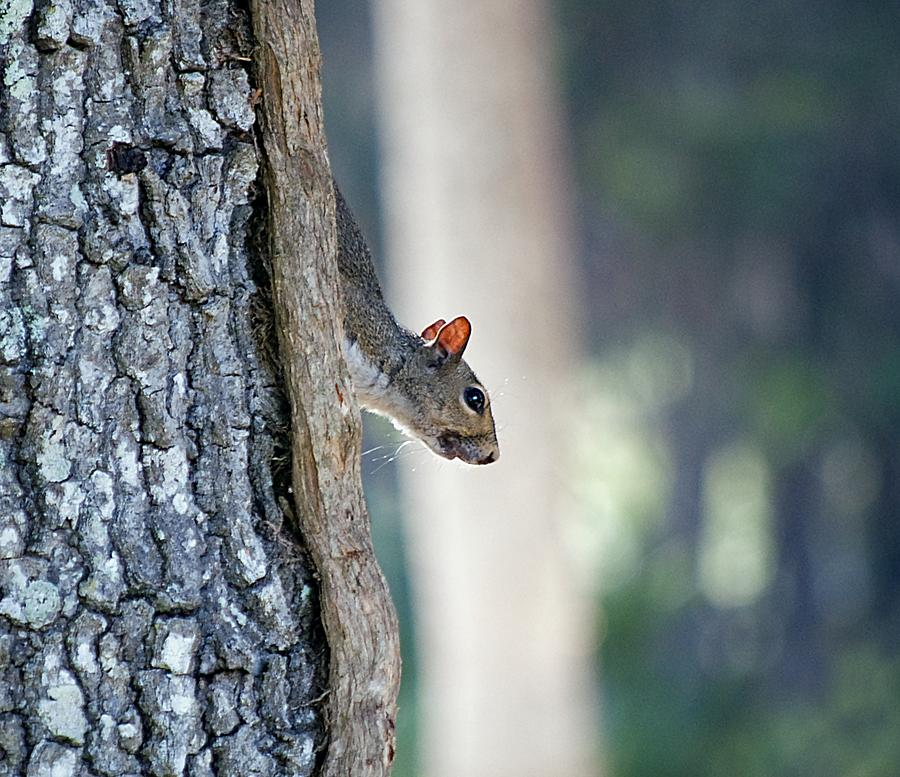 Squirrel Photograph - Shy Squirrel by Kenneth Albin