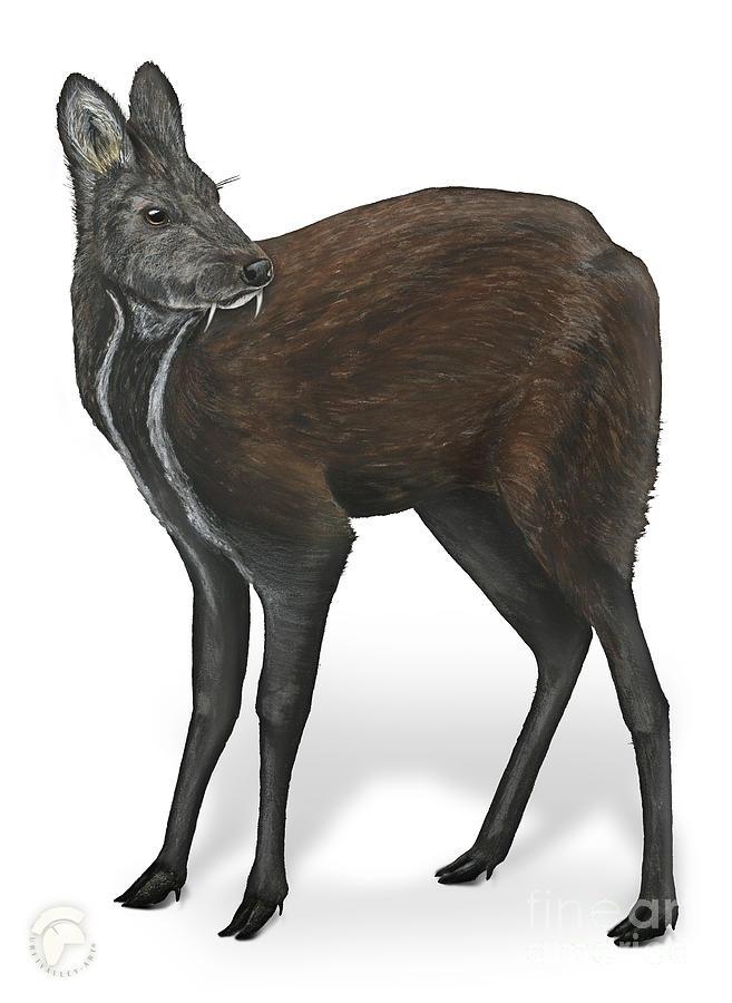 Siberian Musk Deer Moschus Moschiferus - Chevrotain Porte-musc - Ciervo Almizclero - Moschustier Painting