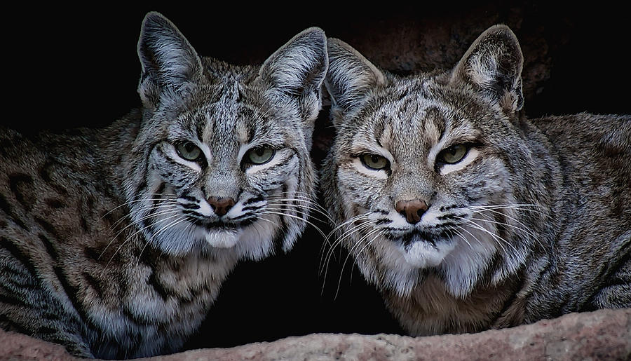 Bobcats Photograph - Side By Side by Elaine Malott