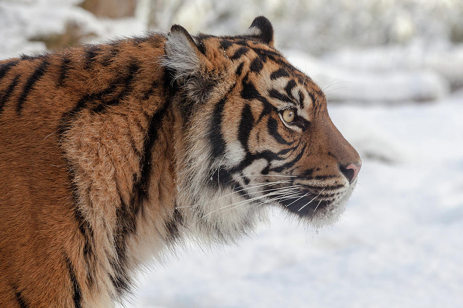 Side Portrait Of A Sumatran Tiger In The Snow Photograph