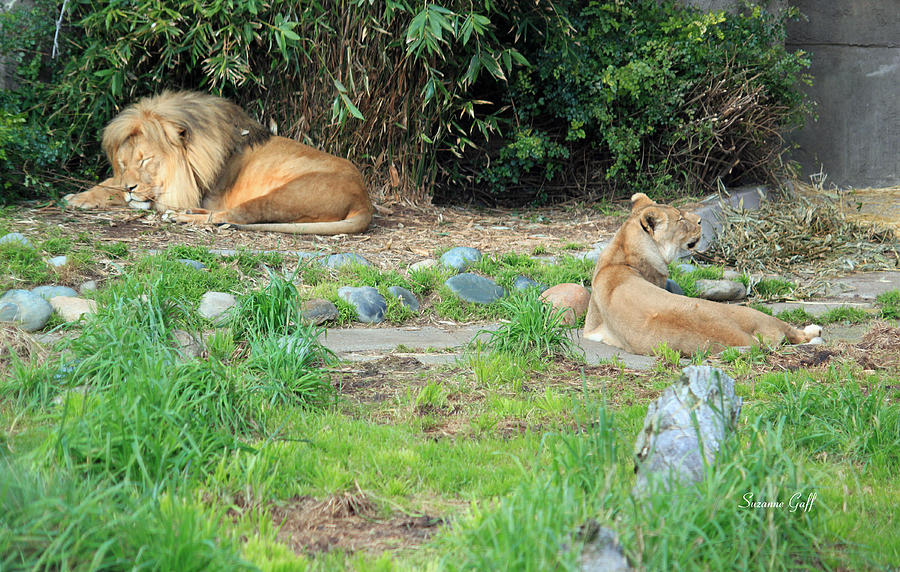 A Magnicent Male Lion And His Lioness Lounging In The Afternoon Sun! Photograph - Siesta Time by Suzanne Gaff