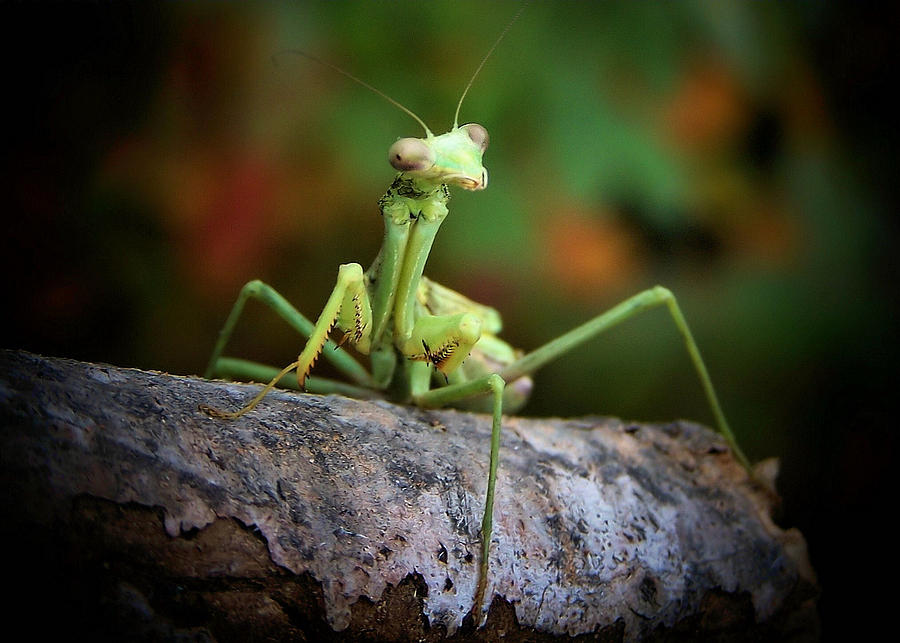 Silly Mantis Photograph