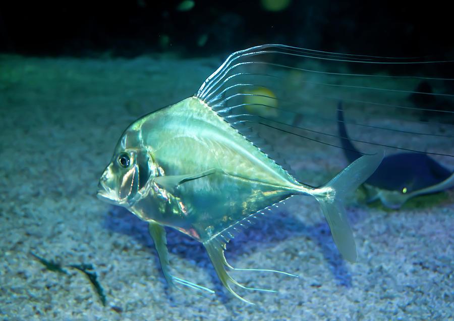 Aqua Photograph - Silver Fish by Svetlana Sewell
