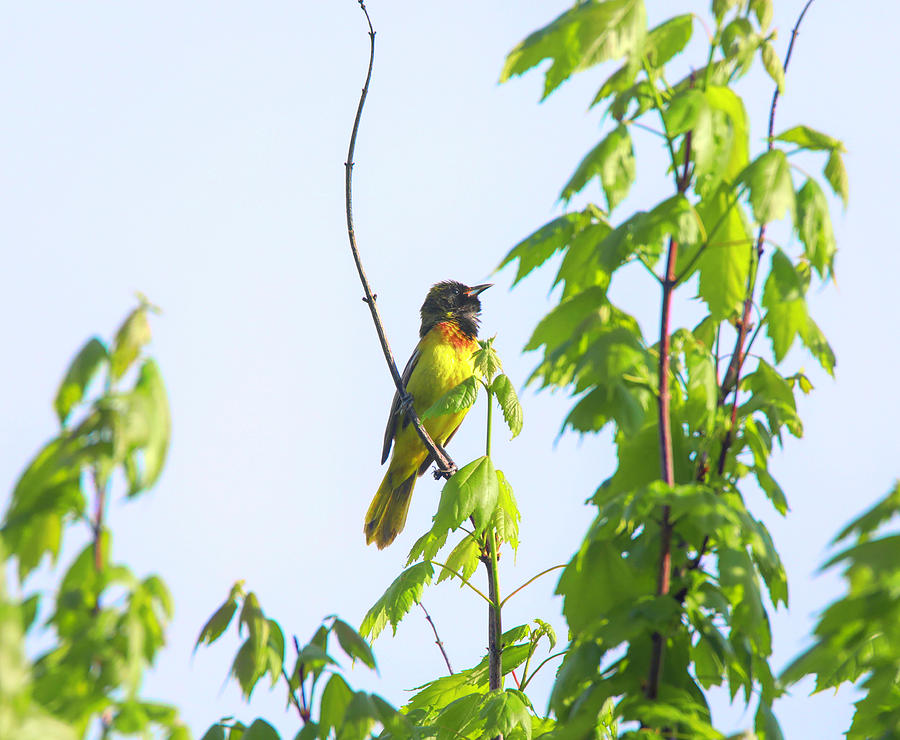 Singing Baltimore Oriole Photograph