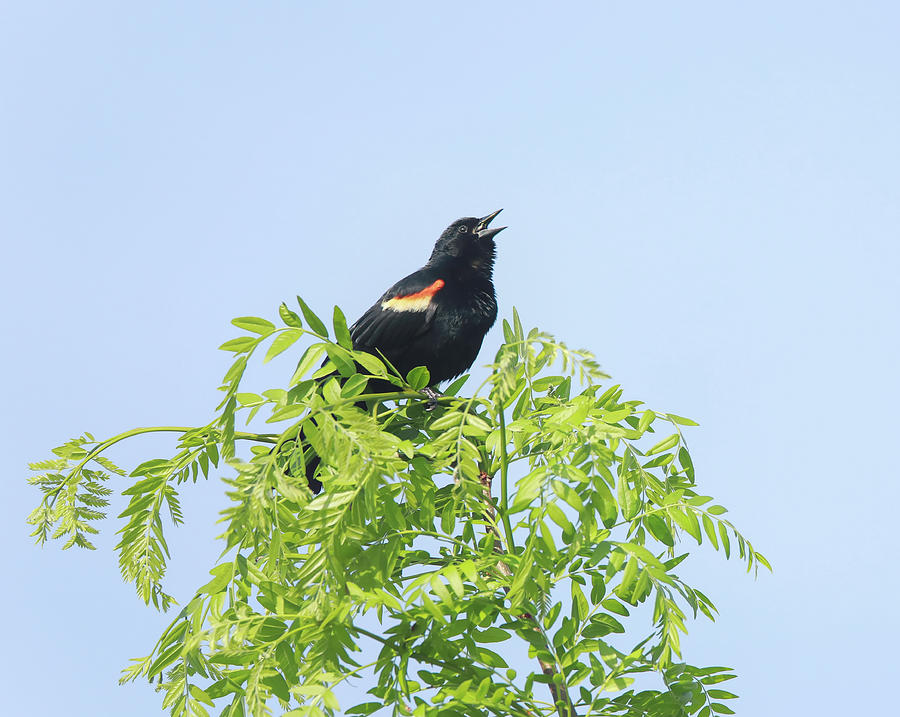 Singing Red Winged Blackbird Photograph