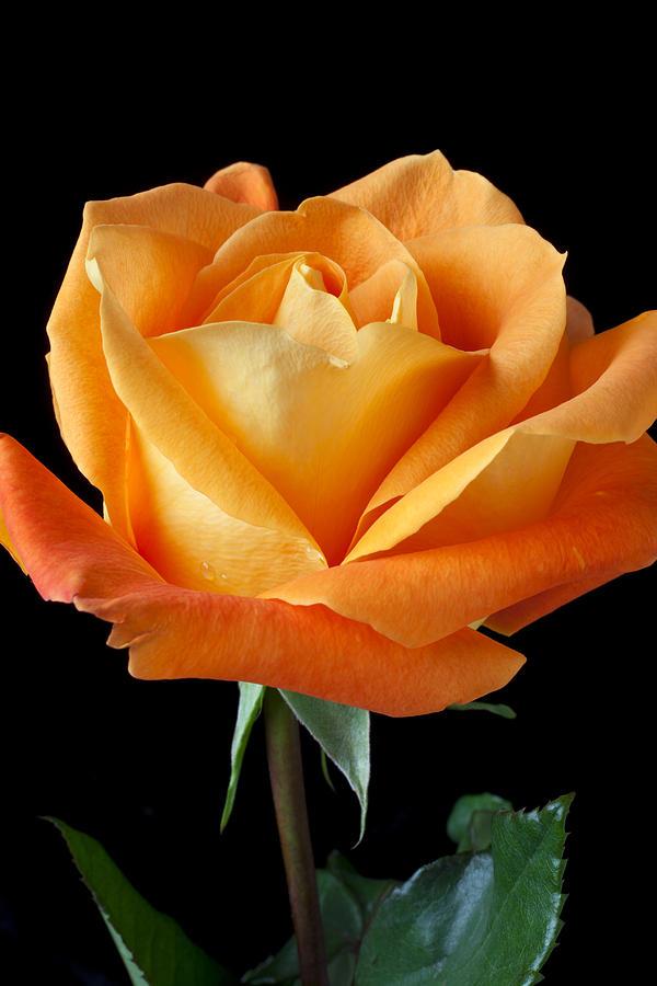 Single Photograph - Single Orange Rose by Garry Gay