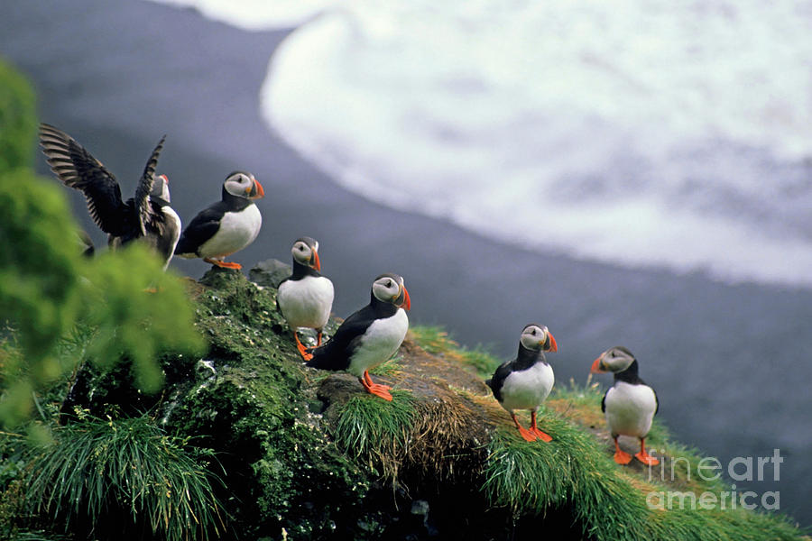 Six Puffins Perched On A Rock Photograph
