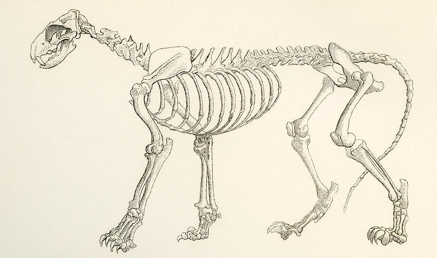 Vintage skeleton drawing