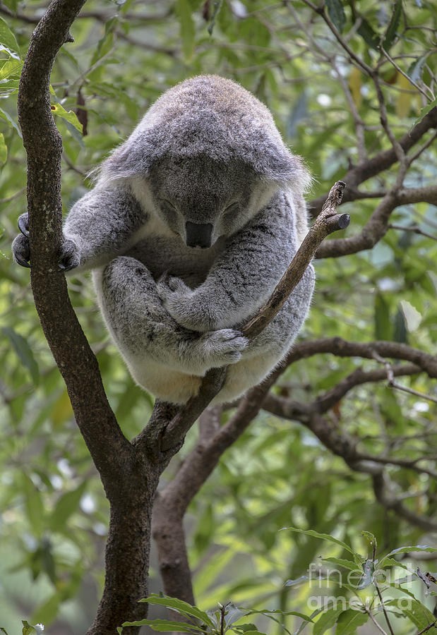 Koala Photograph - Sleepy Koala by Avalon Fine Art Photography