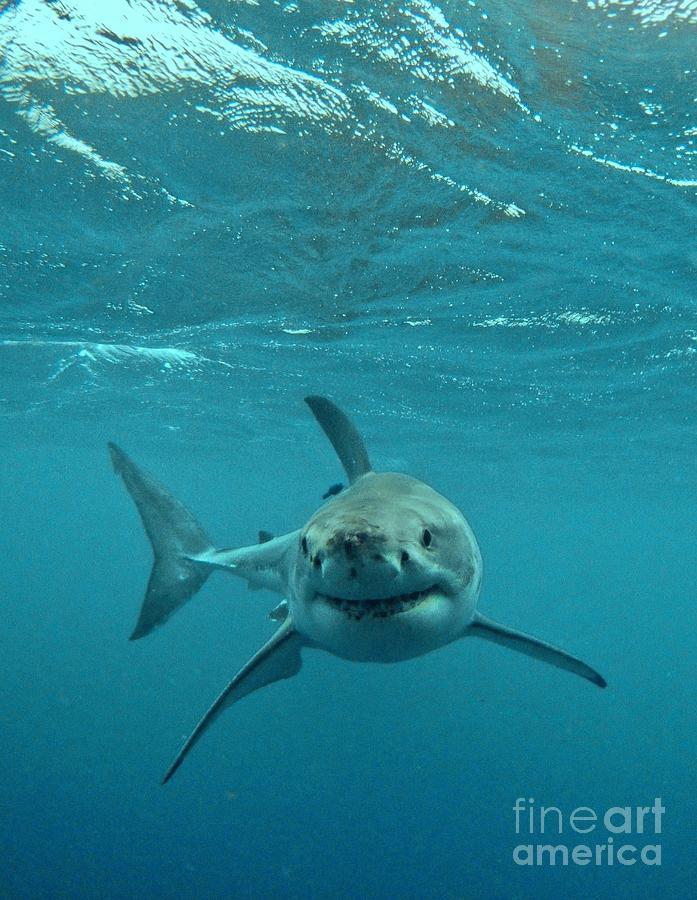 Great White Shark Photograph - Smiley Shark by Crystal Beckmann