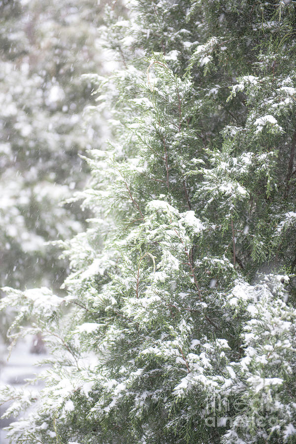 Snow Covered Tree Photograph