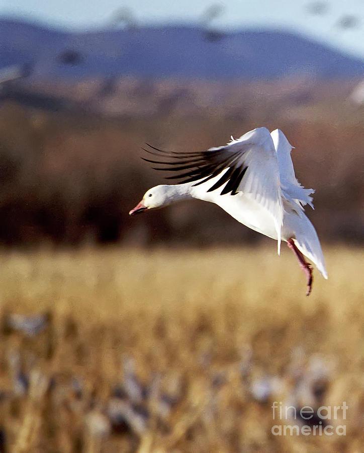 Bosque Photograph - Snow Goose by Steven Ralser