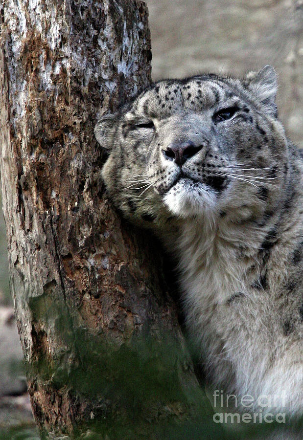 Snow Leopard Photograph