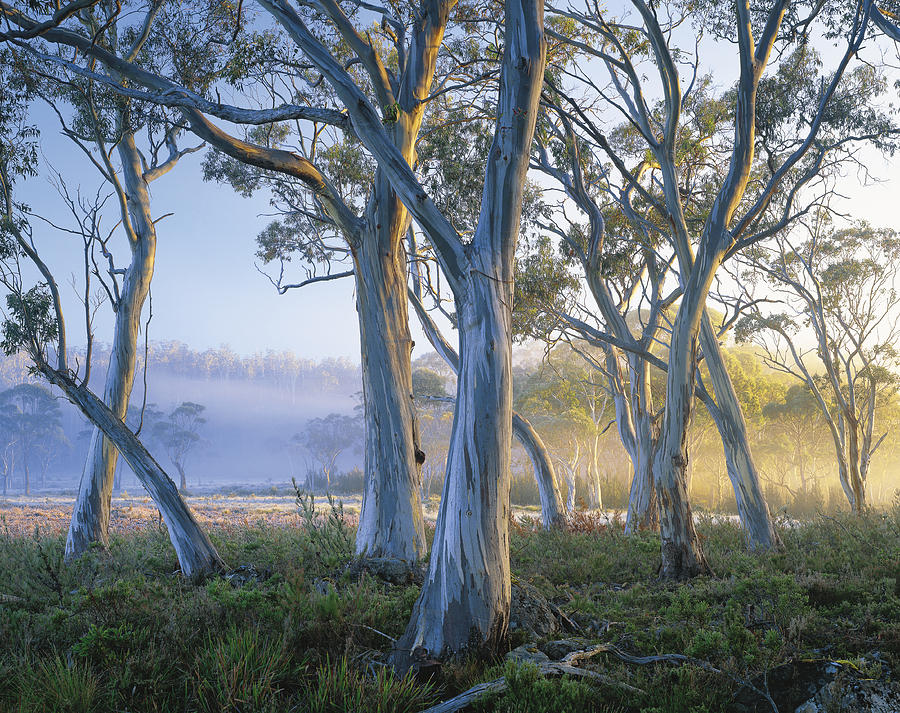 Snowgums At Navarre Plains, South Of Lake St Clair. Photograph by Rob Blakers