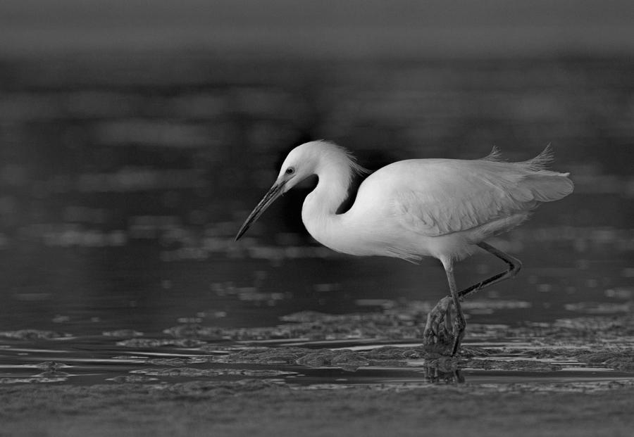 Black and white egret - photo#3