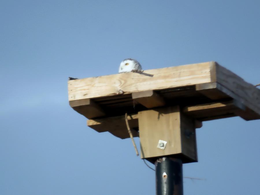 Snowy Owl Telephone Pole Box Photograph