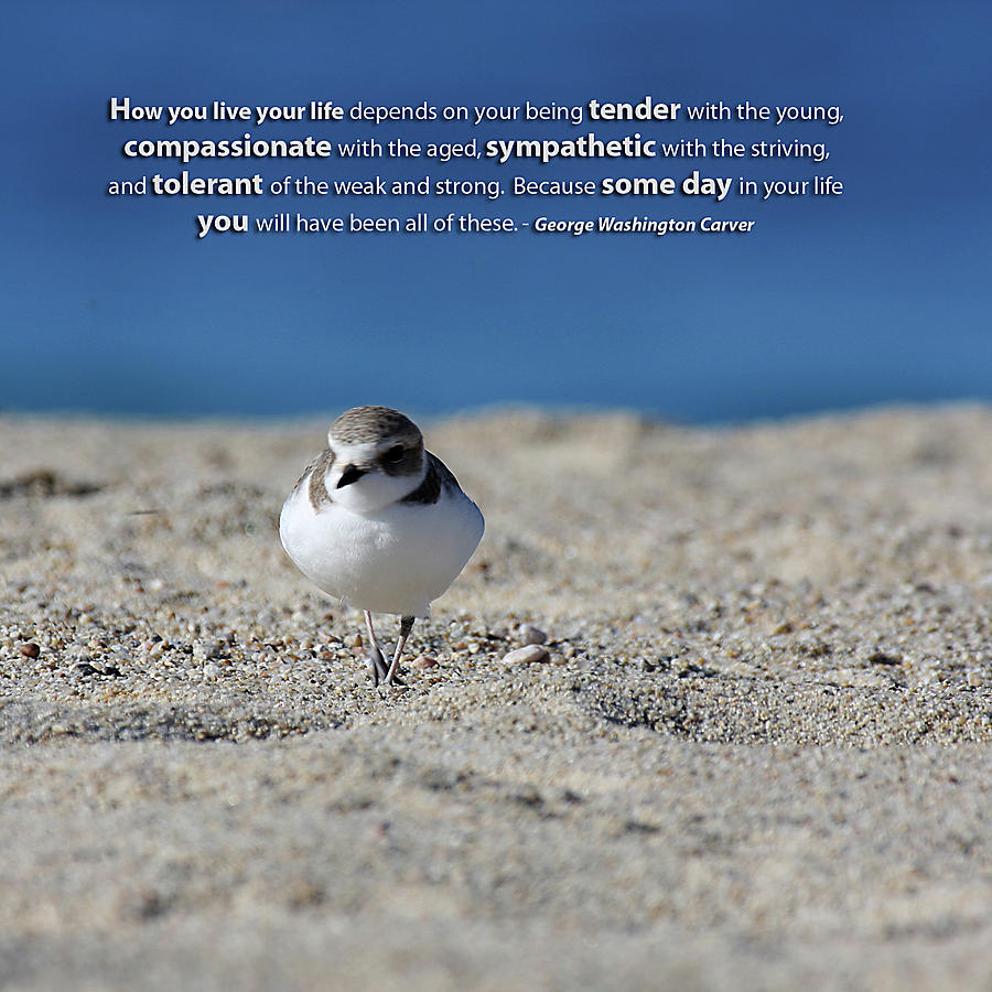 Snowy Plover Message Print Photograph