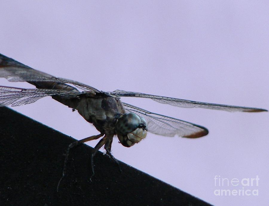 Dragon Fly Photograph - So Many Bugs So Little Time by Priscilla Richardson