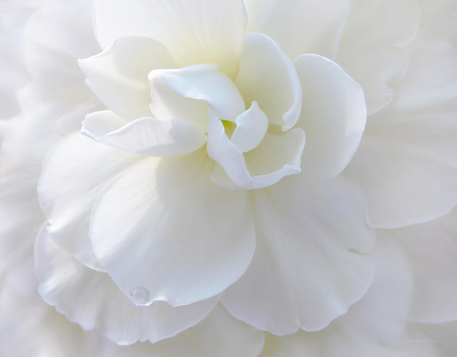 Begonia Photograph - Soft Ivory Begonia Flower by Jennie Marie Schell